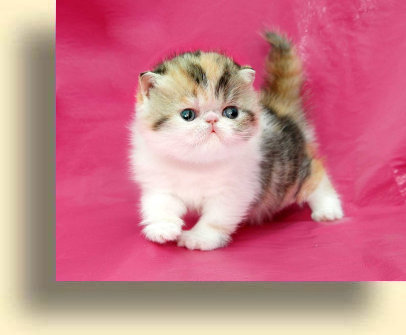 C MATRIX Barbie title exotic persian past kittens