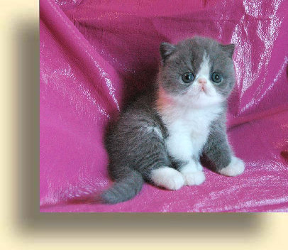 C MATRIX Beauty title 2 exotic persian past kittens
