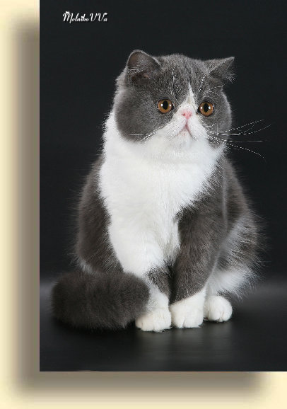 C MATRIX Beauty  exotic persian past kittens