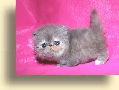 C MATRIX Kukla title exotic persian past kittens