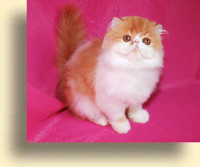 C MATRIX Romashka title 5 exotic persian past kittens
