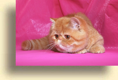C MATRIX Little Buddha  exotic persian past kittens