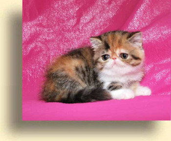 C MATRIX Flower title 2 exotic persian past kittens