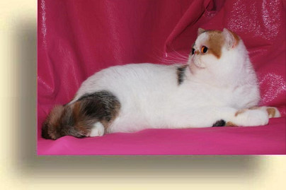 C MATRIX Miss Flower title exotic persian past kittens