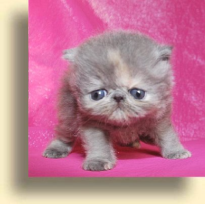 C MATRIX Nadine title 2 exotic persian past kittens