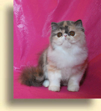 C MATRIX Sweet Mona Lisa title 4 exotic persian past kittens