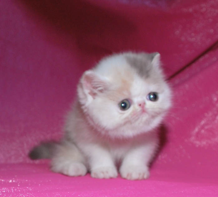 Exotic cats, persian cats, exotic kittens: C-MATRIX EXOTIC CATTERY ...