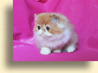 C MATRIX Nice Girl title 5 exotic persian past kittens