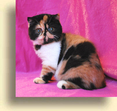 C MATRIX Miss Flower title 2 exotic persian past kittens