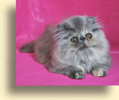 C MATRIX Beatrice title 3 exotic persian past kittens