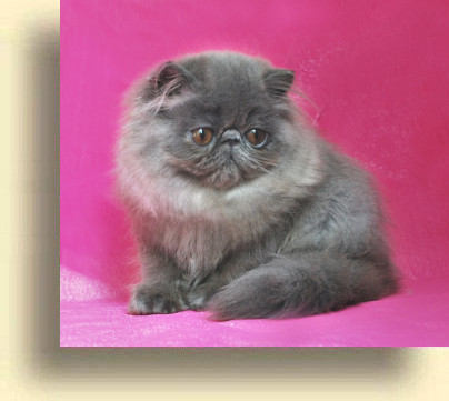 C MATRIX Layla title 3 exotic persian past kittens