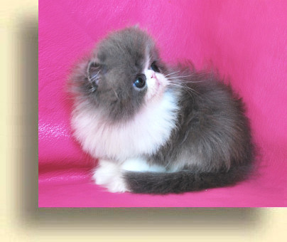 C MATRIX Kikki title 3 exotic persian past kittens