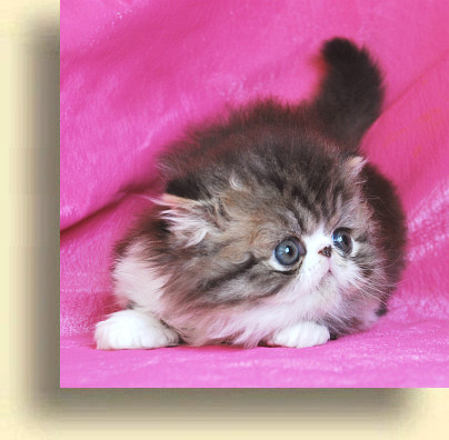 C MATRIX Morgan title 2 exotic persian past kittens