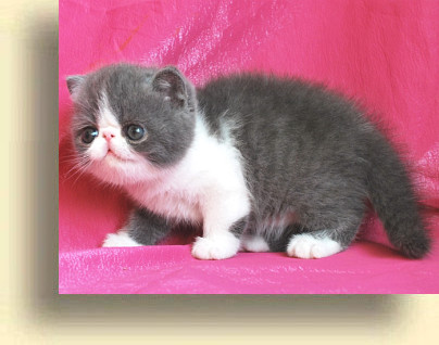C MATRIX Sweet Blue Sky title 3 exotic persian past kittens