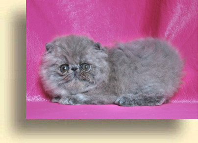 C MATRIX Romeo title 2 exotic persian past kittens