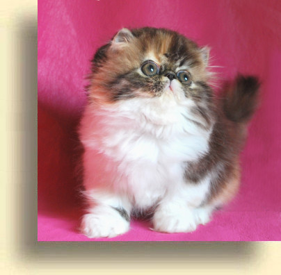 C MATRIX Butterfly title 2 exotic persian past kittens