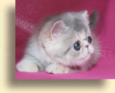 C MATRIX Sweet Liticia title 1b exotic persian past kittens