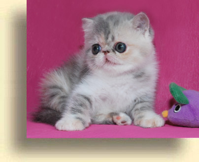 C MATRIX Sweet Liticia title 1c exotic persian past kittens