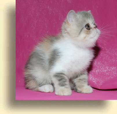 C MATRIX Sweet Liticia title 1d exotic persian past kittens