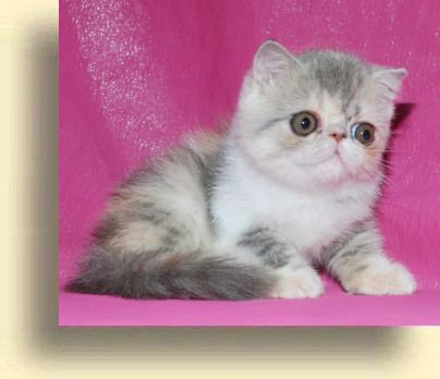C MATRIX Sweet Liticia title 1e exotic persian past kittens
