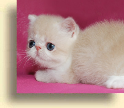 C MATRIX Sweet Candy title 1a exotic persian past kittens