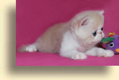 C MATRIX Sweet Candy title 1b exotic persian past kittens