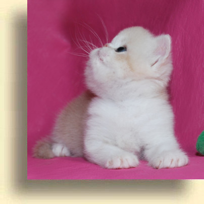 C MATRIX Sweet Candy title 1d exotic persian past kittens