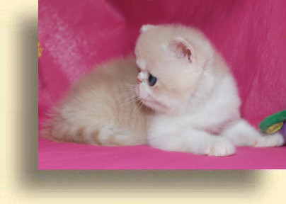C MATRIX Sweet Candy title 1f exotic persian past kittens