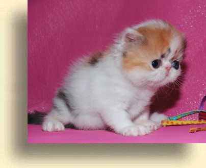 C MATRIX Erotica title 1b exotic persian past kittens
