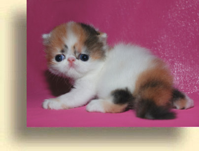 C MATRIX Erotica title 1d exotic persian past kittens