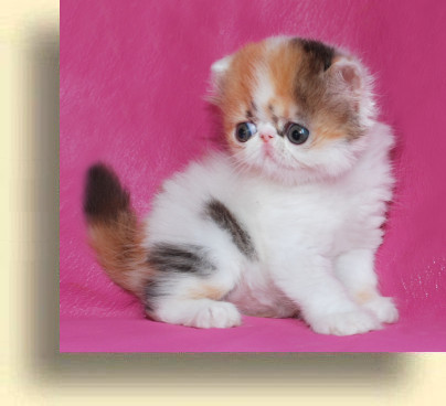 C MATRIX Erotica title 1f exotic persian past kittens