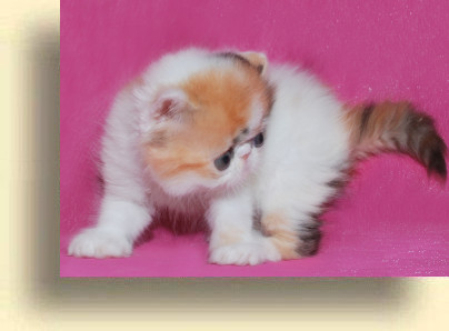 C MATRIX Erotica title 1g exotic persian past kittens