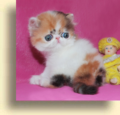 C MATRIX Erotica title 1h exotic persian past kittens