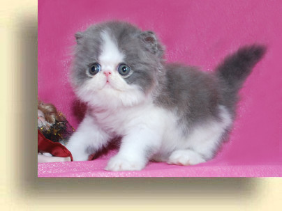 … title 1a exotic persian past kittens