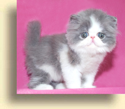 … title 1b exotic persian past kittens