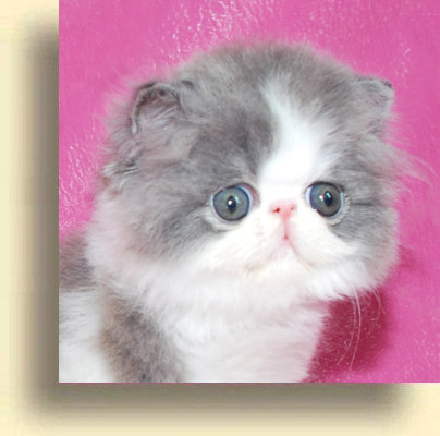 … title 1c exotic persian past kittens