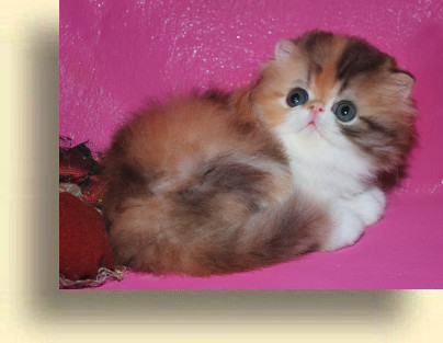 C MATRIX Olivia title 1c exotic persian past kittens
