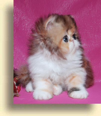 C MATRIX Olivia title 1d exotic persian past kittens