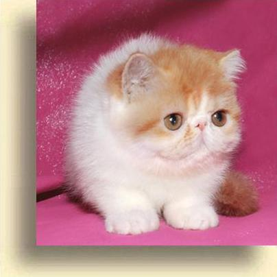 C MATRIX Sweet Klubnichka Sweet Klubnichka exotic persian past kittens
