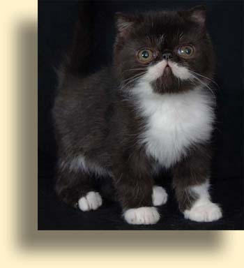 … title exotic persian past kittens