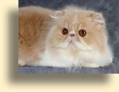 C MATRIX Vinny title exotic persian past kittens