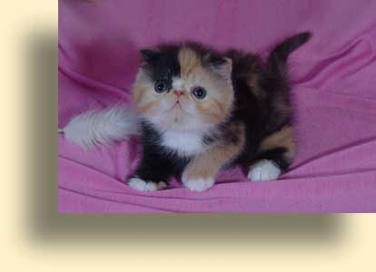 ... title exotic persian past kittens