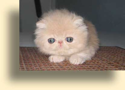 C MATRIX Dodi Sweet Ice Cream title exotic persian past kittens