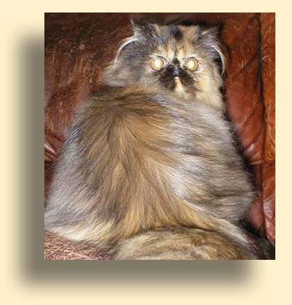 C MATRIX Beautty Best of Prestega title exotic persian past kittens