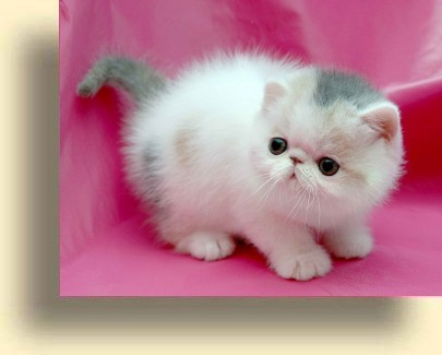 C MATRIX Magic Sun title exotic persian past kittens
