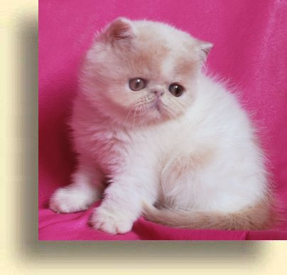 C MATRIX Luisa title 1a exotic persian past kittens