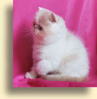 C MATRIX Luisa title 1b exotic persian past kittens