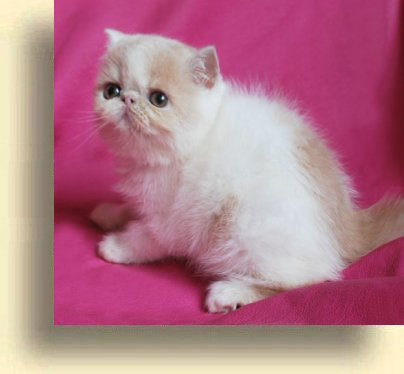 C MATRIX Luisa title 1c exotic persian past kittens