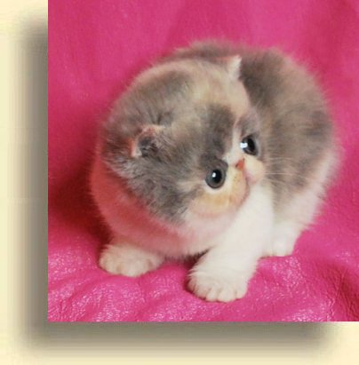 C MATRIX Sweet Mona title 1c exotic persian past kittens