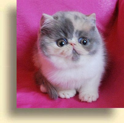 C MATRIX Sweet Mona title 1d exotic persian past kittens